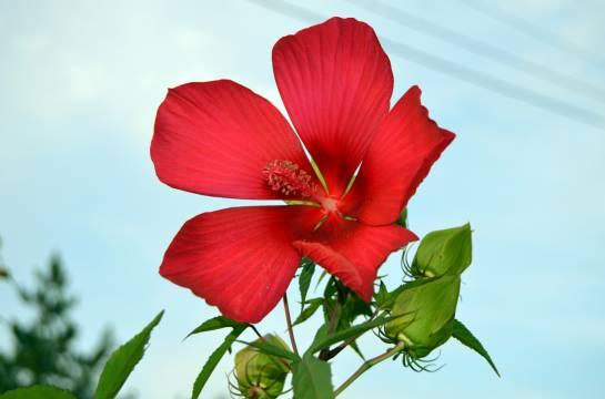 Цветок алый